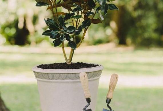 растение для церемонии дерево любви